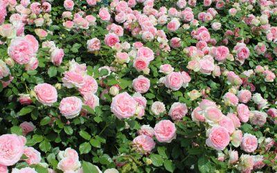 Balades en France: 4 jardins où la rose est reine